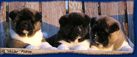 MaJer Akita Puppies -Chief, Ranger, Price 5wks